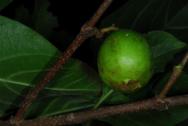 Image of vangueria
