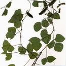 Image of psophocarpus