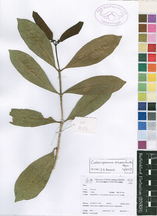 Image of Craterispermum