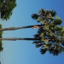 Image of borassus palm