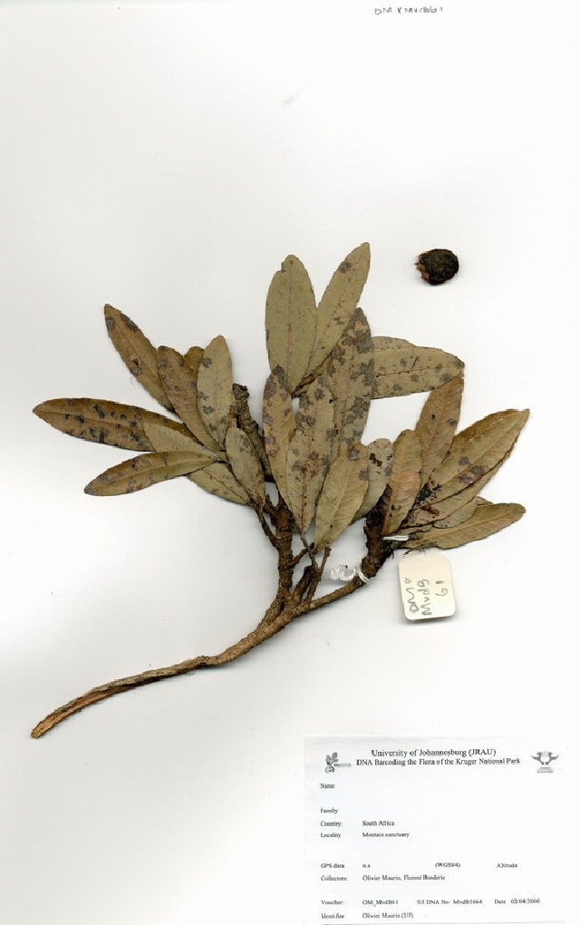 Image of Dwarf mobola plum