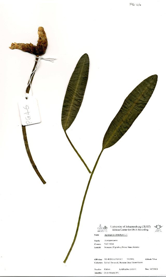 Image of Cape pondweed family