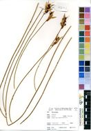 Image of Hypodiscus