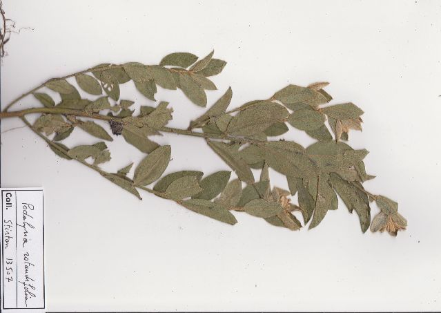 Image of Podalyria