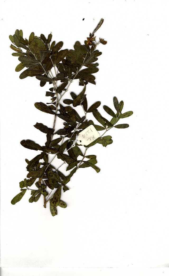 Image of Argyrolobium