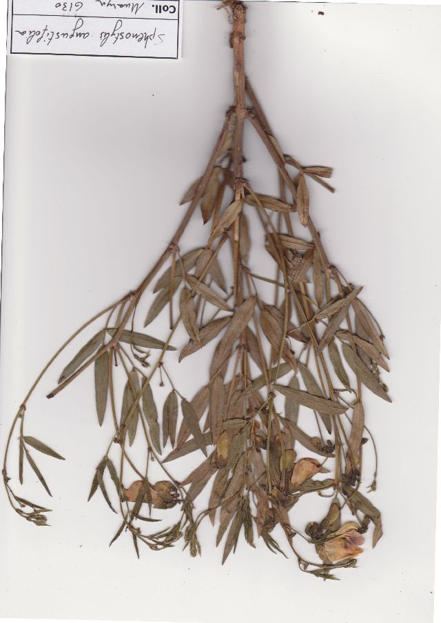 539.safh sphenostylis angustifolia muasya 6130 1423076662 jpg