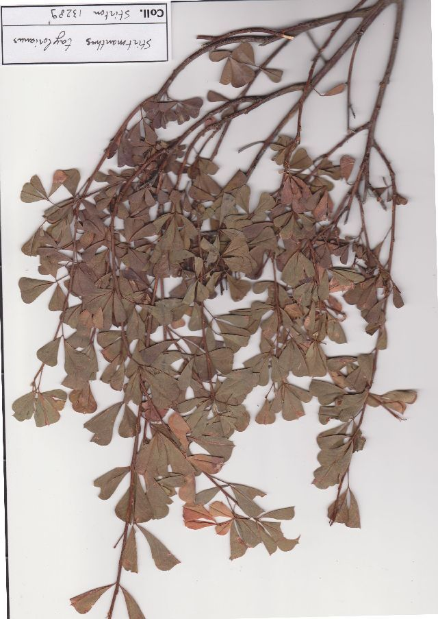 Image of Stirtonanthus