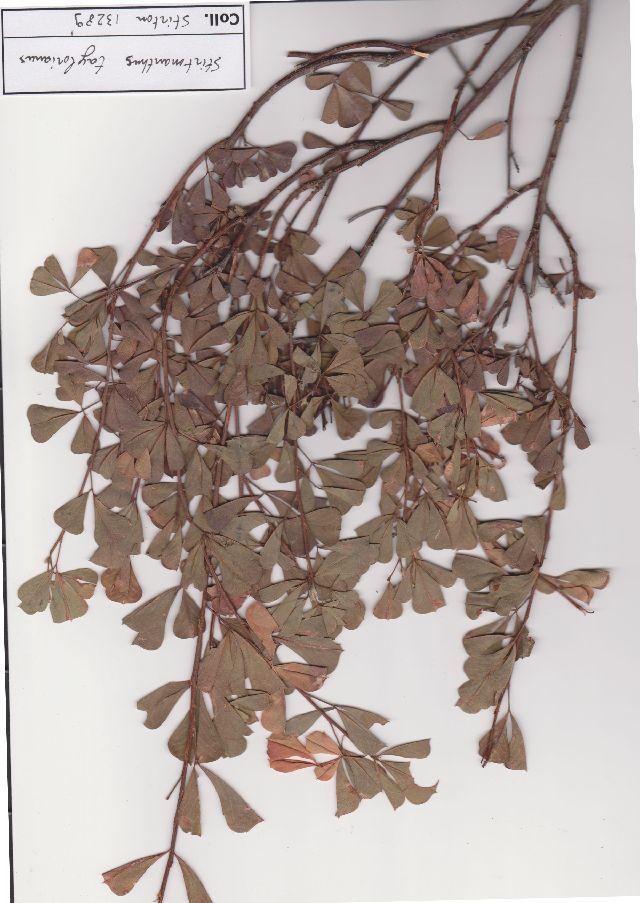 Sivun Stirtonanthus kuva