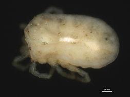 Image of Euthyadinae