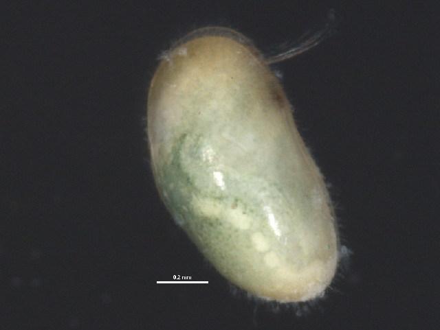 Image of PodocopidGEN BIOUG030