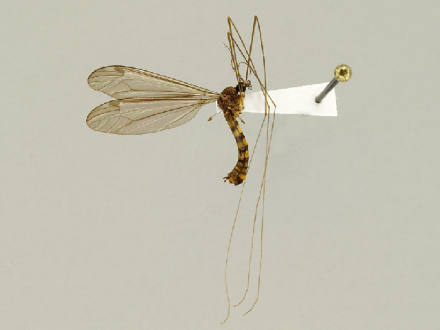 Image of <i>Dolichopeza</i> (<i>Oropeza</i>) <i>tridenticulata</i> Alexander 1931