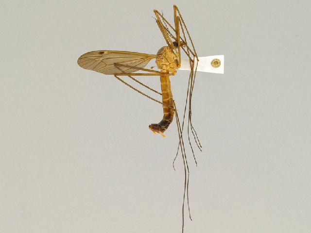 Image of Nigrotipula