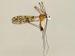 Image of <i>Tipula lishanensis</i>