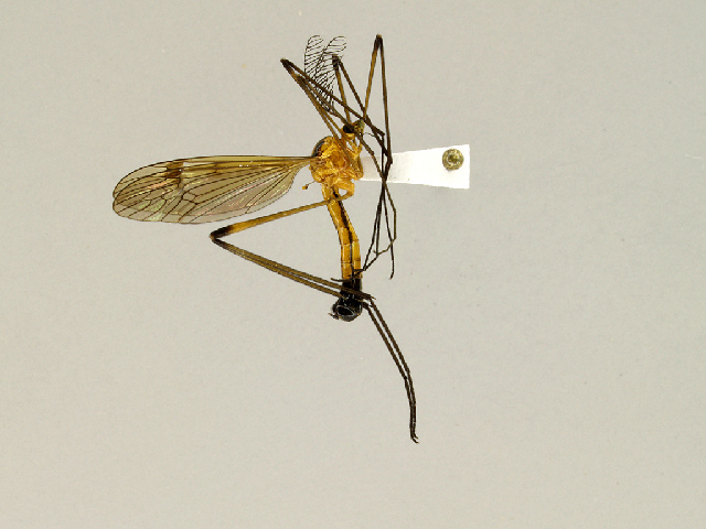 Image of Ctenophorinae