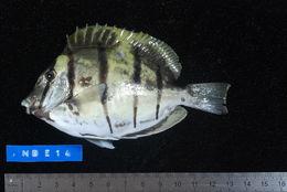 Image of Convict Surgeonfish