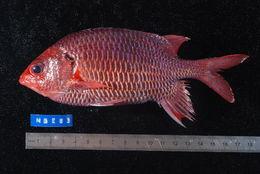 Image of Violet squirrelfish