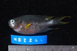 Image of <i>Neopomacentrus cyanomos</i> (Bleeker 1856)