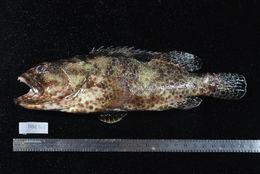 Image of one-blotch grouper