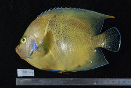 Image of Half-circled Angelfish