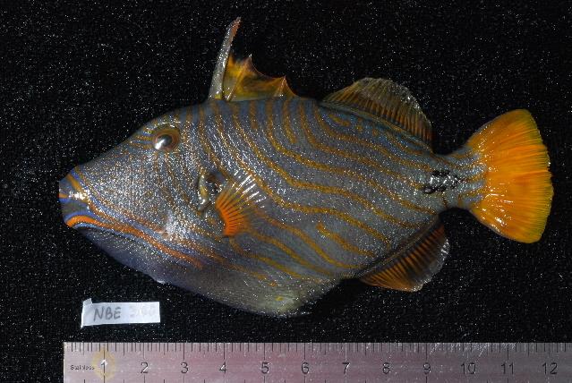 Image of Orange-lined Triggerfish