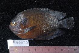Image of Bluefin Dwarf