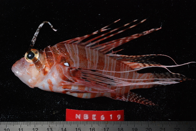 Image of Ragged-finned firefish