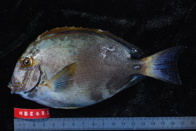 Image of Dussumier's Surgeonfish
