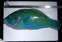 Image of Blue Spotted Wrasse