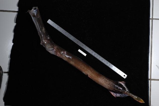 Image of Chinese Trumpetfish