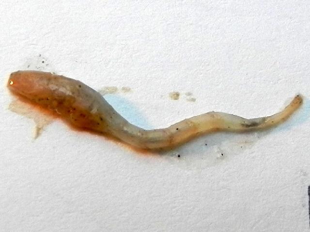 Image of Bodotriidae