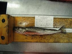 Image of Atlantic hake