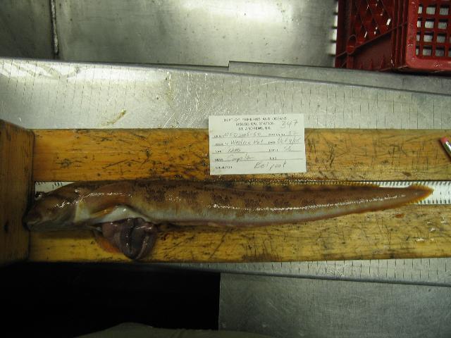 Image of Ocean pout