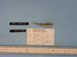 Image of Arctic Alligatorfish