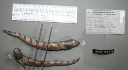 Image of Scalebelly eelpout