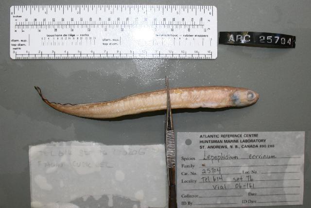 Image of fawn cusk-eel
