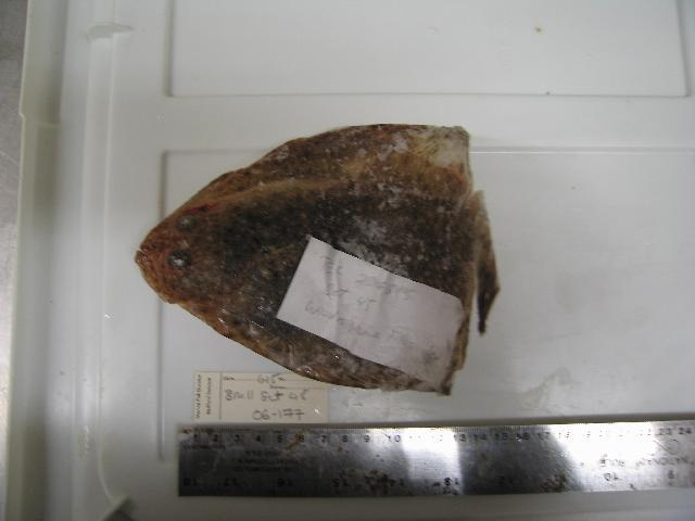Image of windowpane flounder