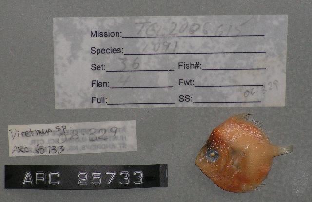 Image of shortspine boarfish