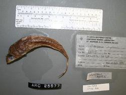 Image of <i>Synchiropus agassizii</i>