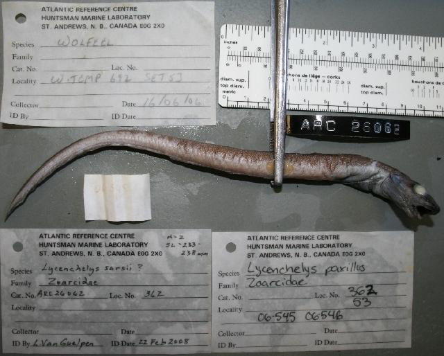 Image of Common wolf eel