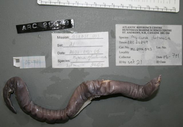 Image of Atlantic Hagfish