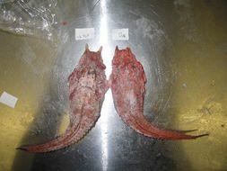 Image of armored searobin