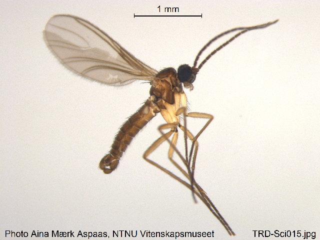 Image of <i>Corynoptera piniphila</i>