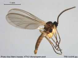 Image of <i>Lycoriella brevipila</i>