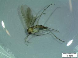 Image of <i>Diadocidia trispinosa</i> Polevoi 1996