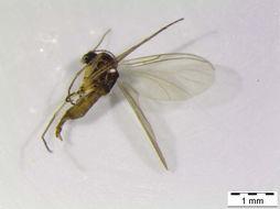 Image of <i>Bradysia excelsa</i> Menzel & Mohrig 1998