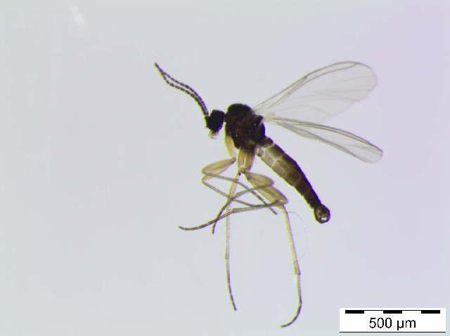 Image of <i>Dichopygina bernhardi</i> Vilkamaa, Hippa & Komarova 2004