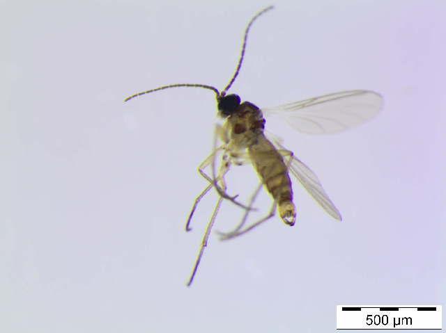 Image of <i>Bradysia angustata</i> Tuomikoski 1960