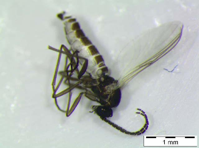 Image of <i>Bradysia fenestrata</i>