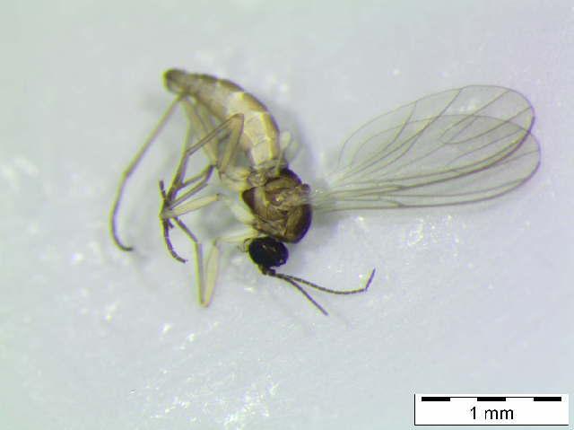 Image of <i>Scatopsciara pusilla</i> (Meigen 1818)