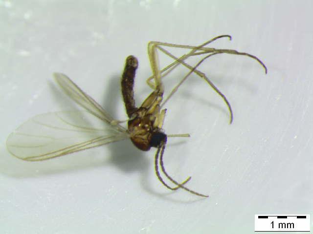 Image of Trichosia